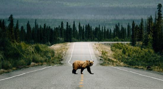 Ein Bär überquert eine Sraße