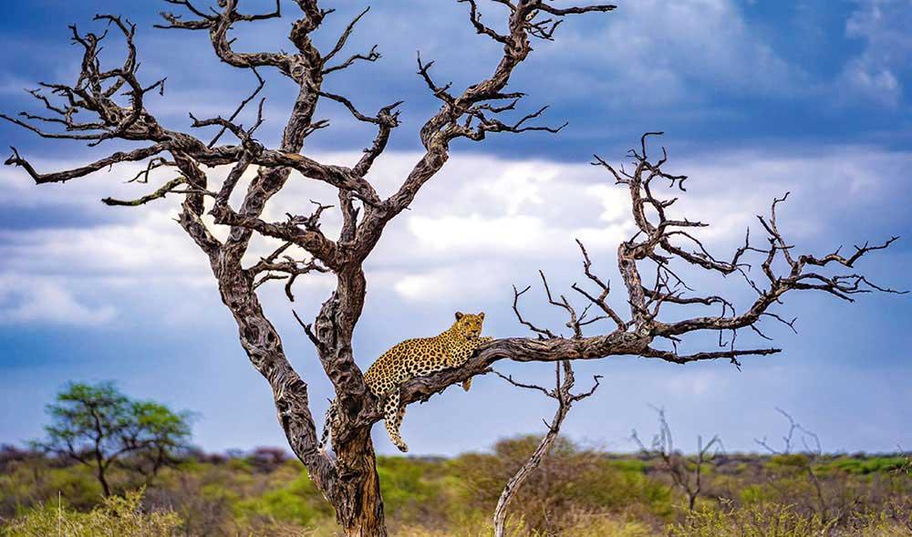 EIZO Leopard auf einem Baum